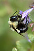 a large bumble bee collecting nectar from a flower
