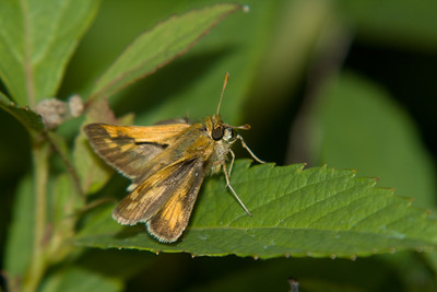 a skipper belonging to the same type of insect as moths and butterflies, a skipper belonging to the same type of insect as moths and butterflies
