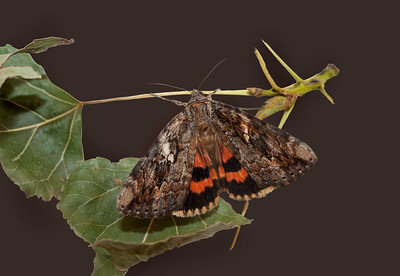underwing moth on small twig