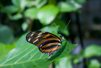 a beautiful tropical butterfly with exotic markings - unknown species, a beautiful tropical butterfly with exotic markings - unknown species