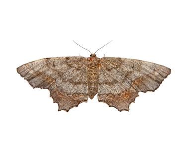 a geometridae moth
