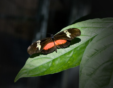 a red, white and black butterfly on a leaf, a red, white and black butterfly on a leaf