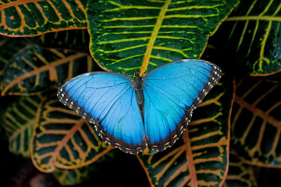 a beautiful Blue Morpho butterfly on leaves, a beautiful Blue Morpho butterfly on leaves