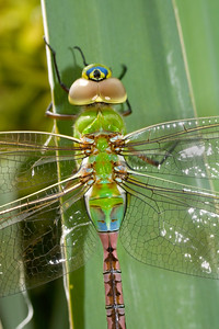 a cyclops dragon fly also called a a Anax junius, a cyclops dragon fly also called a a Anax junius