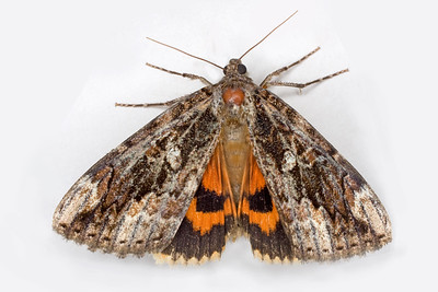 an underwing moth, Latin: Catocala ultronia, an underwing moth, Latin: Catocala ultronia