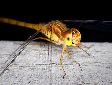 closeup of a meadowhawk dragonfly