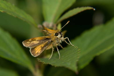 close-up of an orange skipper facing the camera, close-up of an orange skipper facing the camera