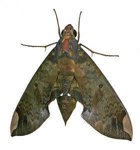 a fig sphinx moth (pachylia fica), a fig sphinx moth (pachylia fica)
