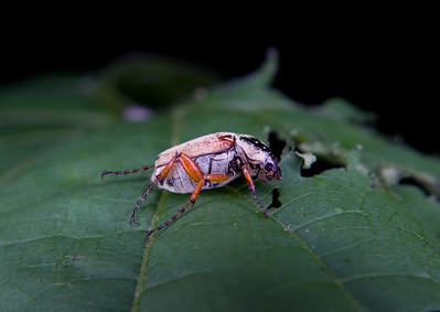 a colorful scarab beetle eating a leaf