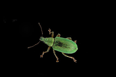 an iridescent green assassin beetle on an isolated black background, an iridescent green assassin beetle on an isolated black background