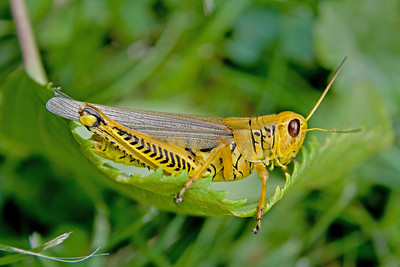 a Differential grasshopper - Melanoplus differentialis