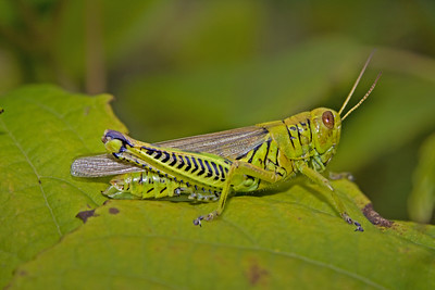 a Differential grasshopper