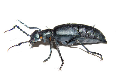 a black blister beetle also called an oil beetle