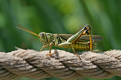 large grasshopper on a rope