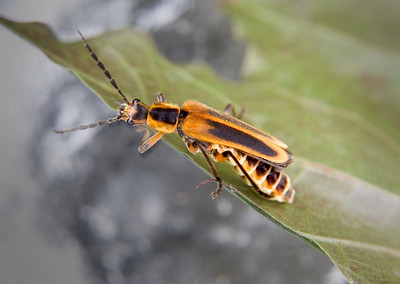 a soldier beetle or a type of assassin bug on a leaf
