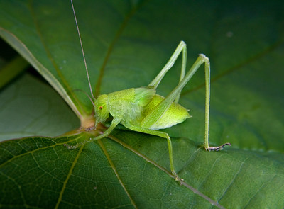 a small green grasshopper or katydid on a leaf