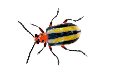 a beautiful, colorful 3-lined potato beetle on white background
