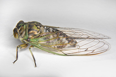 Dog-day Cicada - female