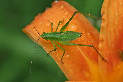 a grasshopper or cricket