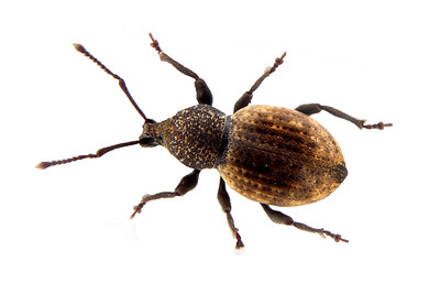 a lovely and interesting little snout beetle, a lovely and interesting little snout beetle