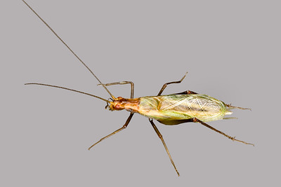 an endangered tree cricket - Oecanthus laricus female,