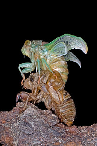 Metamorphosis of a young cicada into an adult by shedding its exoskeleton