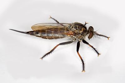 a predatory robber fly
