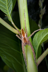 a nursery web spider perched on a poke weed stem, a nursery web spider perched on a poke weed stem