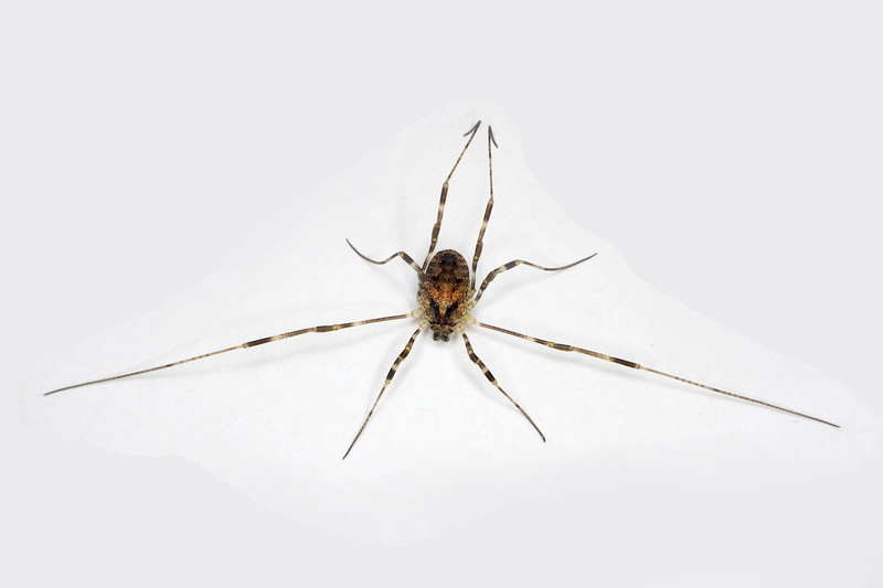a daddy longleg spider, scientific name Opilionid