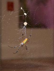 A Golden Silk Orb Weaver Spider
