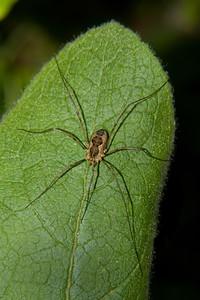 a daddy-long-legs or harvestman-not a true spider, a daddy-long-legs or harvestman-not a true spider