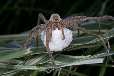 a large, hairy spider protecting her egg sac, a large, hairy spider protecting her egg sac