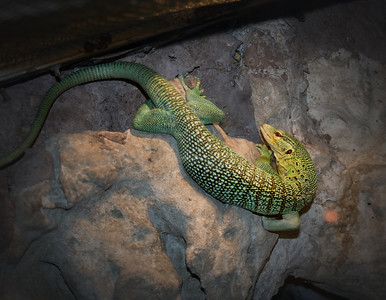 a green and brown lizard climbing on a wall