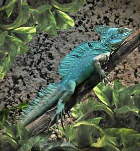 a  beautiful, blue basilisk lizard