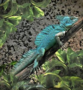 a  beautiful, blue basilisk lizard