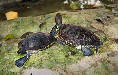Mexican Tortoises