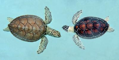 Mexican Sea Turtles