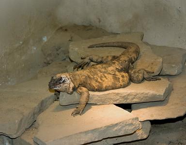 a brown lizard resting on sandstone rocks