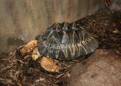 a large colorful turtle sitting on wood chips