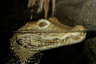 a young alligator or crocodile half submerged in water