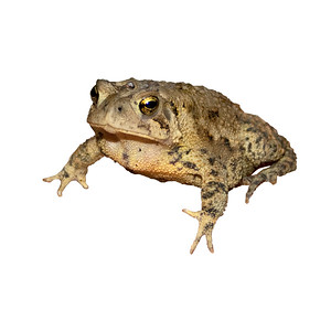 a warty American toad on isolated background