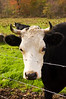 cow, black and white