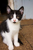 kitten, tuxedo type, black and white