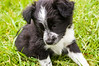 puppy, black and white