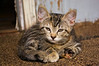 kitten, tabby