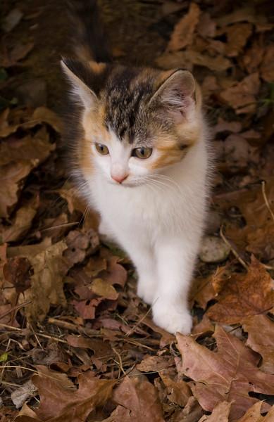 kitten, calico