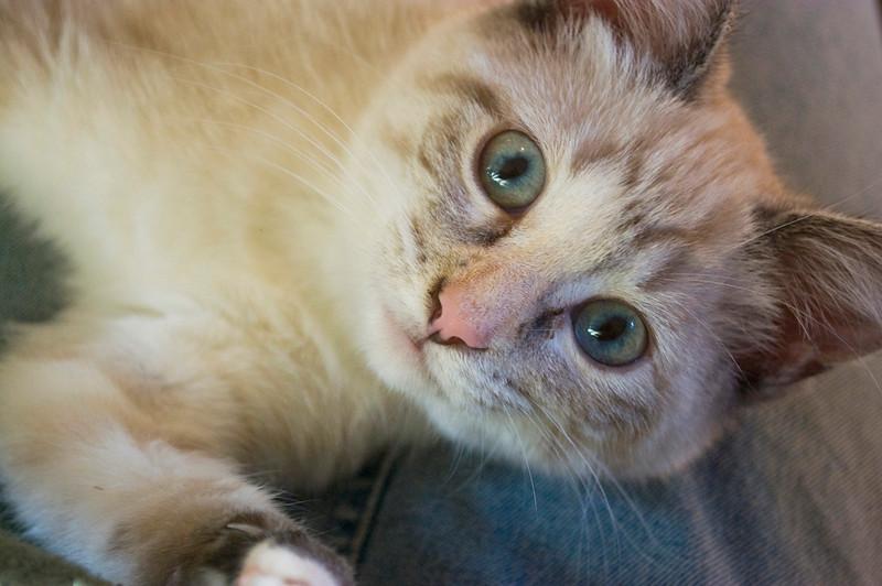 kitten, gray tabby  looking up