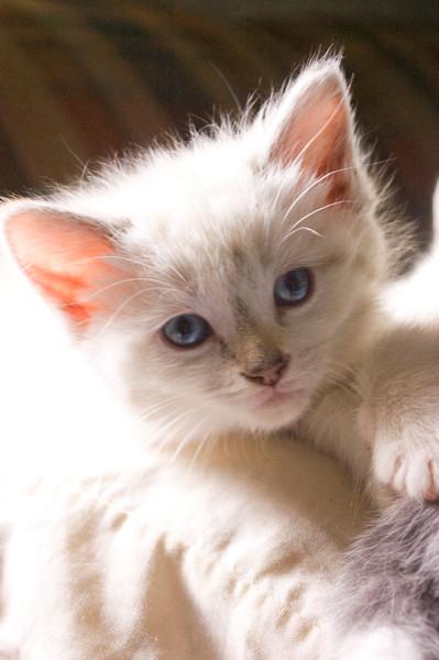 kitten, white long-hair on white pillow (grainy photo)
