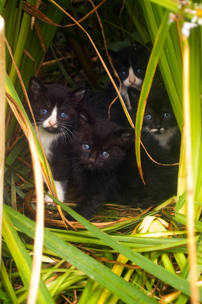 kittens hiding among iris plants