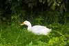 duck, Pekin,  in leafy bower